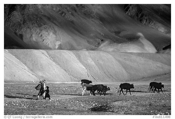 Family herding cattle in arid mountains, Zanskar, Jammu and Kashmir. India (black and white)