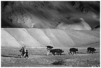 Family herding cattle in arid mountains, Zanskar, Jammu and Kashmir. India ( black and white)