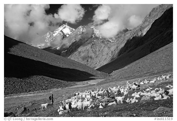 Trekker and sheep herd, Zanskar, Jammu and Kashmir. India (black and white)