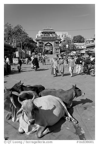 Sacred cows lying in Sardar Market. Jodhpur, Rajasthan, India (black and white)