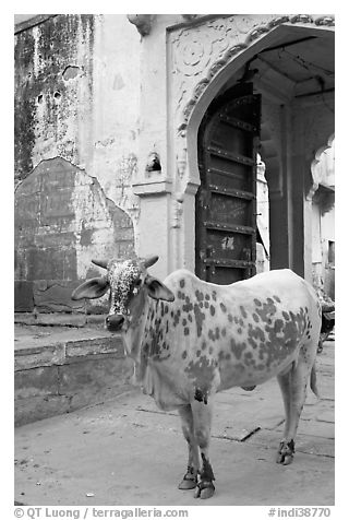 Cow and blue-washed archway. Jodhpur, Rajasthan, India (black and white)