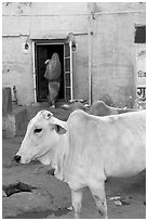 Cow and house with blue-washed walls. Jodhpur, Rajasthan, India (black and white)