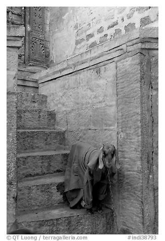 Goat covered with blanket on a blue entrance steps. Jodhpur, Rajasthan, India (black and white)