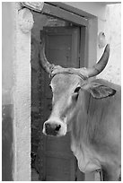Cow and doorway. Jodhpur, Rajasthan, India (black and white)