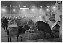 Sacred cows and ceremony at Dasaswamedh Ghat. Varanasi, Uttar Pradesh, India (black and white)