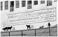 Sheep below a sign in English and Hindi. Varanasi, Uttar Pradesh, India ( black and white)