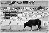 Cow and laundry. Varanasi, Uttar Pradesh, India (black and white)