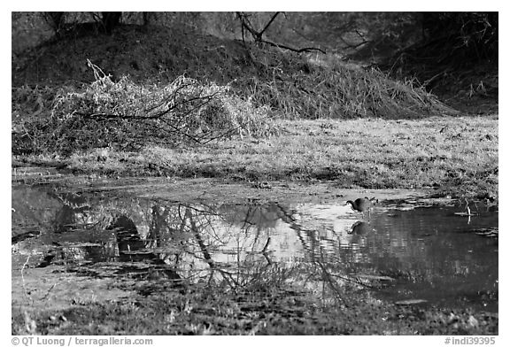 Pond and bird, Keoladeo Ghana National Park. Bharatpur, Rajasthan, India (black and white)
