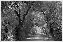 Path through tree tunnel, Keoladeo Ghana National Park. Bharatpur, Rajasthan, India (black and white)