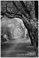 Path and tree tunnel, Keoladeo Ghana National Park. Bharatpur, Rajasthan, India (black and white)