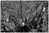 Owls perched in tree, Keoladeo Ghana National Park. Bharatpur, Rajasthan, India (black and white)