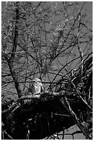 Owl perched in tree, Keoladeo Ghana National Park. Bharatpur, Rajasthan, India (black and white)