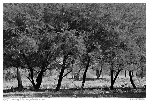 Trees, Keoladeo Ghana National Park. Bharatpur, Rajasthan, India (black and white)