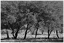 Trees, Keoladeo Ghana National Park. Bharatpur, Rajasthan, India ( black and white)