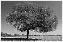 Isolated tree in open grassland, Keoladeo Ghana National Park. Bharatpur, Rajasthan, India ( black and white)