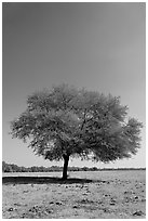 Isolated tree, Keoladeo Ghana National Park. Bharatpur, Rajasthan, India (black and white)