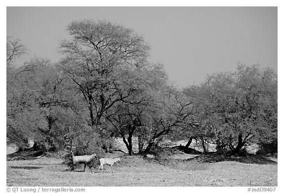 Animals and trees, Keoladeo Ghana National Park. Bharatpur, Rajasthan, India (black and white)