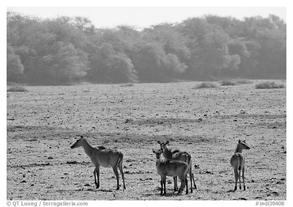 Dear in open meadow, Keoladeo Ghana National Park. Bharatpur, Rajasthan, India