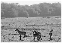 Dear in open meadow, Keoladeo Ghana National Park. Bharatpur, Rajasthan, India ( black and white)