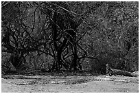 Python, Keoladeo Ghana National Park. Bharatpur, Rajasthan, India ( black and white)