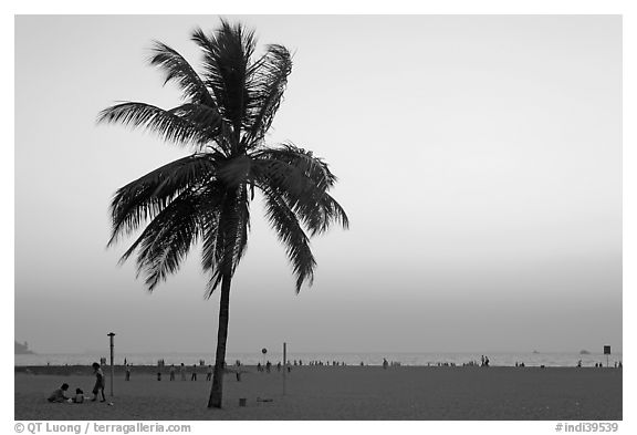 Coconut tree on Miramar Beach, sunset. Goa, India (black and white)