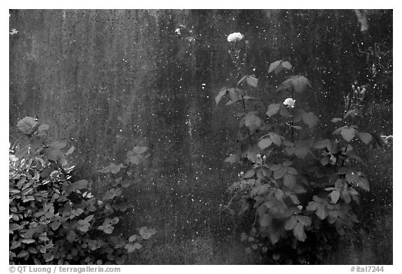 Roses and wall. San Gimignano, Tuscany, Italy (black and white)