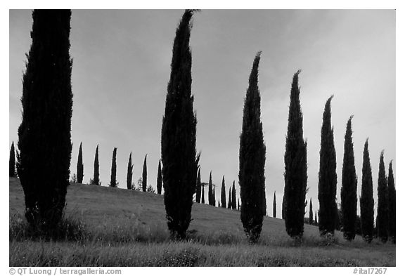 Cypress rows typical of the Tuscan landscape. Tuscany, Italy (black and white)