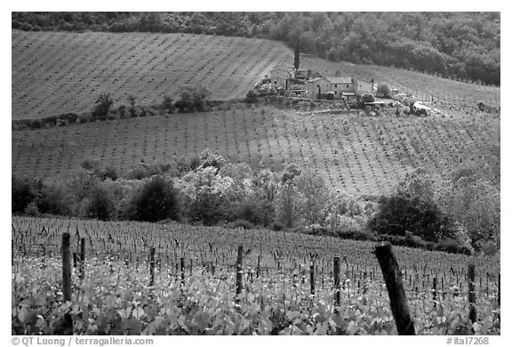 Grape rows, Chianti vineyard and village. Tuscany, Italy (black and white)