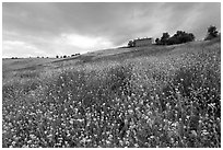 Spring wildflowers and house on hill. Tuscany, Italy (black and white)