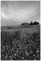 Carpet of spring wildflowers and house on ridge. Tuscany, Italy (black and white)