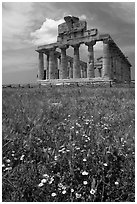 Wilflowers and Tempio di Cerere (Temple of Ceres). Campania, Italy ( black and white)