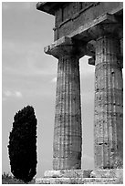 Cypress and columns of Doric Greek Temple of Neptune. Campania, Italy ( black and white)