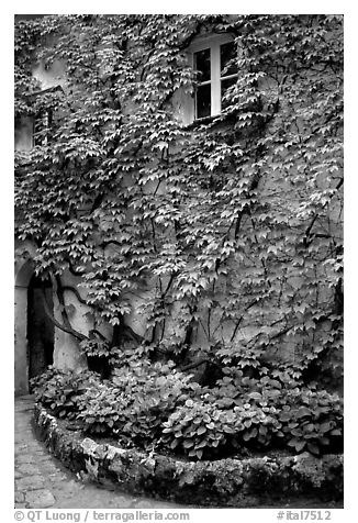 Ivy-covered wall in a Courtyard inside Villa Rufulo, Ravello. Amalfi Coast, Campania, Italy (black and white)