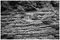 Steep hillside terraces with lemon trees. Amalfi Coast, Campania, Italy (black and white)