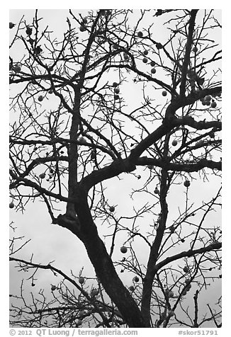 Pomegranate tree with bare branches and fruits. Hahoe Folk Village, South Korea (black and white)