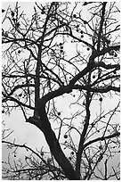 Pomegranate tree with bare branches and fruits. Hahoe Folk Village, South Korea ( black and white)