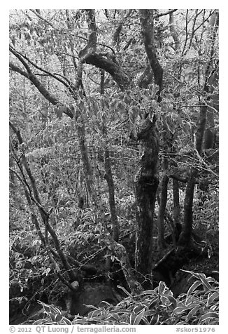 Frozen trees and leaves, Hallasan National Park. Jeju Island, South Korea (black and white)