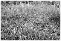 Frosted grasses, Hallasan National Park. Jeju Island, South Korea (black and white)