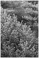 Frosted pine branches, Hallasan National Park. Jeju Island, South Korea (black and white)