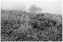 Frosted plants in foggy landscape. Jeju Island, South Korea (black and white)