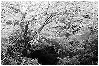 Trees with hoar frost, Mt Halla. Jeju Island, South Korea ( black and white)