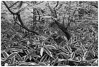 Broad leaf plants growing under dwarf-fir forest. Jeju Island, South Korea (black and white)