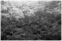 Volcanic rocks and frosted trees. Jeju Island, South Korea (black and white)