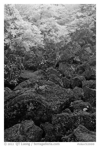 Boulders and trees covered with frost, Mt Halla. Jeju Island, South Korea (black and white)