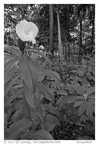 Tropical flower, Singapore Botanical Gardens. Singapore (black and white)