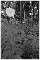 Tropical flower, Singapore Botanical Gardens. Singapore ( black and white)