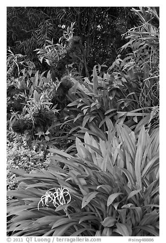 Orchids, National Orchid Garden. Singapore (black and white)