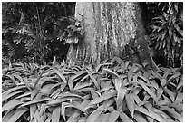 Leaves and trunk,  Singapore Botanical Gardens. Singapore (black and white)