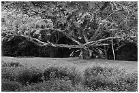 Tree, Singapore Botanical Gardens. Singapore ( black and white)