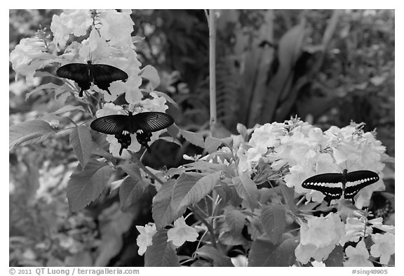 Black butterflies and flowers, Sentosa Island. Singapore (black and white)